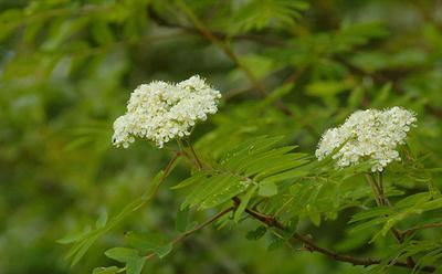 Madárberkenye-virágzása