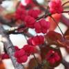 A csíkos kecskerágó (Euonymus europaeus) - 1. rész
