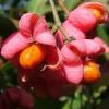 A csíkos kecskerágó (Euonymus europaeus) - 2. rész