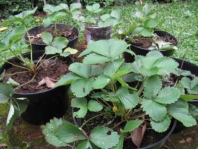 földieper-termesztése