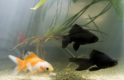 Feng-Shui-akvárium