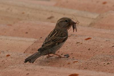 Szúnyogirtó-madarak