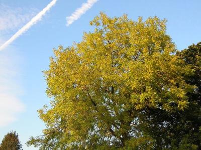 Kőrisfa
