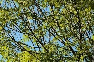 Ismerjük meg a kőrisfát (Fraxinus excelsior)! - 1. rész