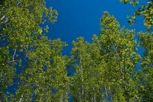 Miért rezegnek a nyárfák (Populus tremula)? - 1. rész
