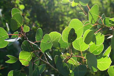 Rezgő-nyárfa