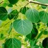 Miért rezegnek a nyárfák (Populus tremula)? - 2. rész