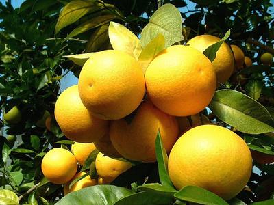 Édes-narancs