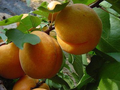 Narancssárga-gyümölcs