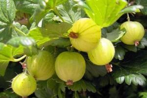 Hogyan termesszünk otthon egrest avagy köszmétét?