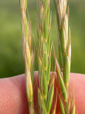 agropyron-repens