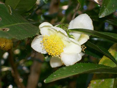 camellia-sinensis_400