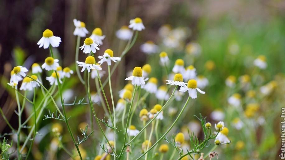 Kamilla termesztése, ültetése kiskertben