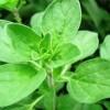 Termesszünk fűszernövényeket! - Majoránna