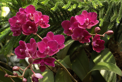 Doritis-orchidea