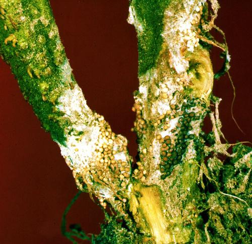 sclerotium-penesz