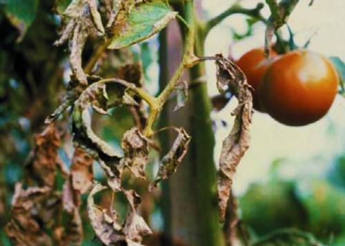3 A paradicsom gyakori gombás betegségei
