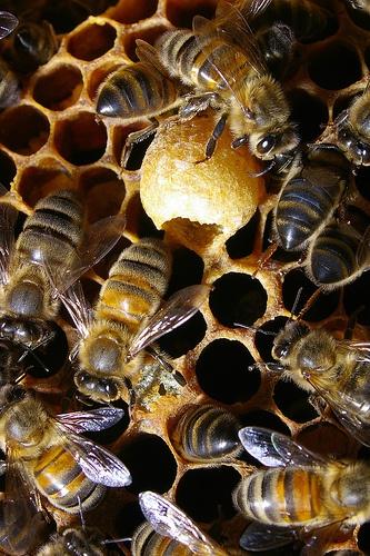 dolgozó méhek, méhpempő