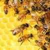 A méhpempő - miért annyira értékes gyógymód?