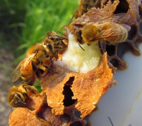 A méhpempő a memória javulására és a mentális tevékenység felélénkítésére nagy hatással van