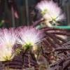 Bordó-levelű selyemakác: különleges színfolt a kertben