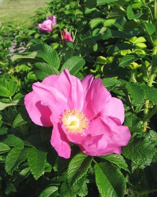 Virágzó-rózsa