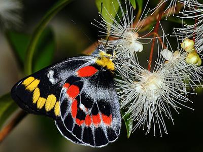 Delias-harpalyce-pillangó