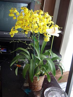 lepke-orchideák