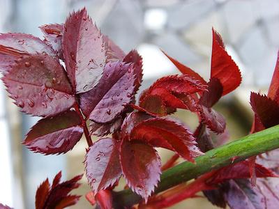 Rózsa-készítés-levelek