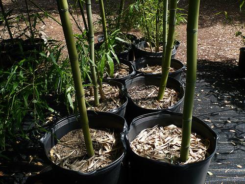 Bambuszok-gondozása