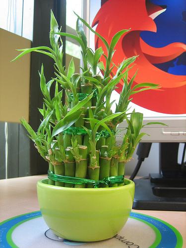 Bambusz-benti-gondozása