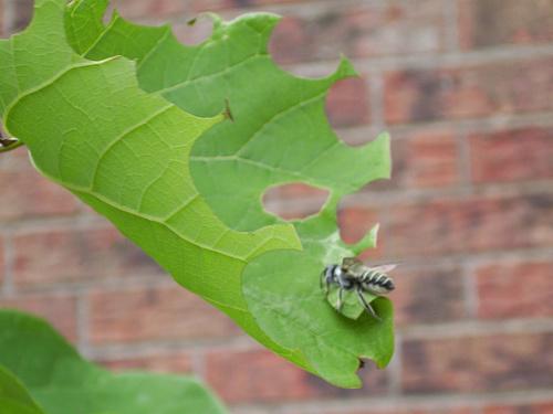 Levélvágó-méh