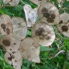 Fán terem a pénz? - A kerti holdviola (Lunaria annua)