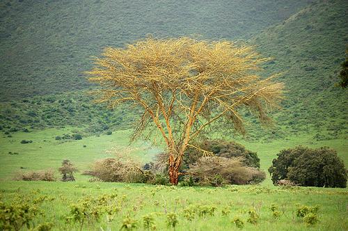 Acacia-xanthophloea