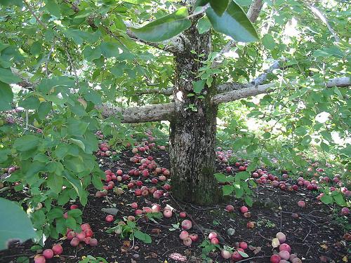 Gyümölcsöskert-gondozása