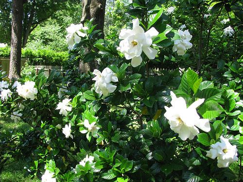 Örökzöld-virágzó-cserjék