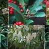 Örökzöld virágzó cserjék