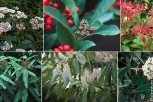 Örökzöld virágzó cserjékkel dobd fel a kerted