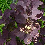 Színes levelű díszcserjékkel feldobhatjuk kertünket - itt az ideje az ületetésnek
