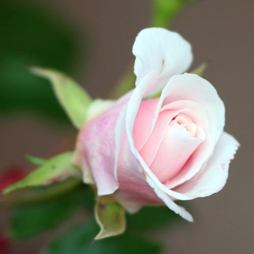 rózsa jelentése