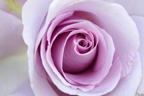 rosa-multiflora-1951977_1920