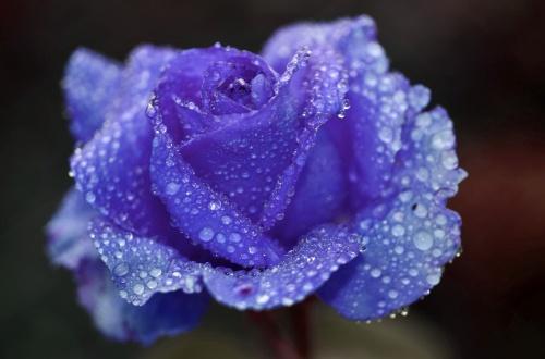 rose-817429_1920