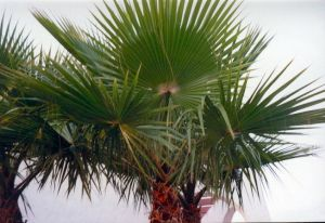 Washingtonia-pálma