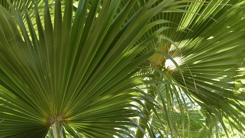 palma_washingtonia_robusta