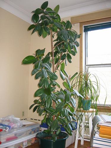 Magas-szobanövények