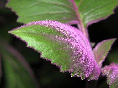Bíbor-bársonylevél-magas-szobanövény