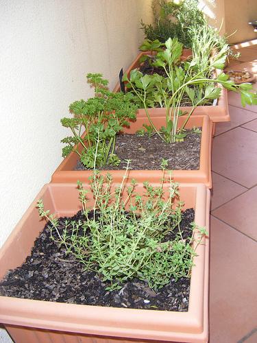 Fűszernövény-kert