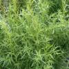 Mit kell tudni a tárkony termesztéséről?