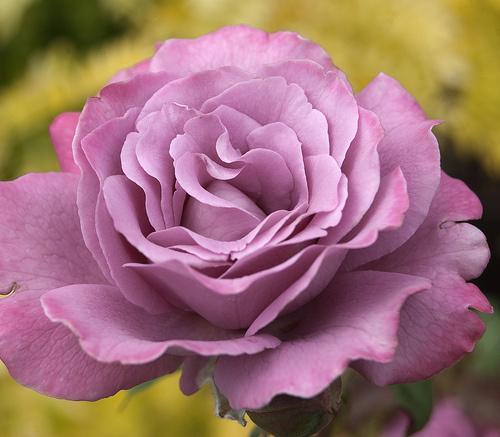 Lila-rózsa
