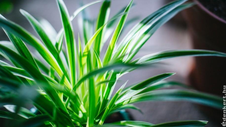 Alacsony fényigényű szobanövények árnyékos helyekre